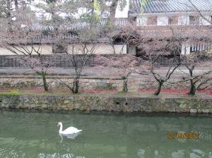 swan?